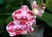 Orchid Phalaenopsis — Stock Photo