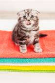 Scottish fold kitten licking his whisker — Stock Photo