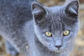 Gray Farm Cat — Stockfoto