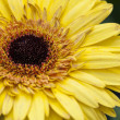 Yellow Sunflower — Stock Photo #71356985