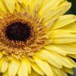 Yellow Sunflower — Stock Photo #71356985