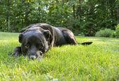 Black Labrador Outdoors — Stock Photo