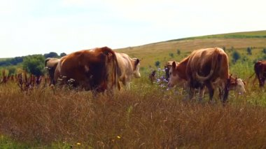 Herd of cows grazing in the meadow.Industrial grazing farm animals. — Stock Video