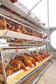 Poultry aviary farm — Stock Photo