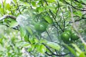 Green lemons being sprayed — Foto Stock