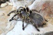 Black  tarantula spider — Stock Photo