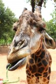Giraffe been fed — Stockfoto