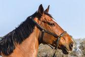 Equestrain koní parkurových — Stock fotografie