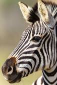 Zebra Head Wildlife Animals  — Stock Photo