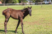Horse Foal Colt Stud Farm — Stock Photo