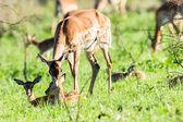 Buck Calf Wildlife — Stock Photo