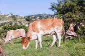 牛の動物の谷 — ストック写真