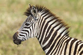 Zebra Calf Wildlife — Stock Photo