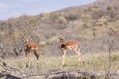 Buck Impala Wildlife — Stock Photo