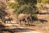 Elephant Calf — Stock Photo