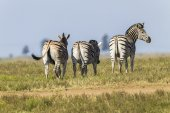 Zebra's Three Wildlife — Stock Photo