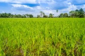 Green crops. — Stock Photo