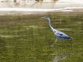 Heron hunts — Stock Photo
