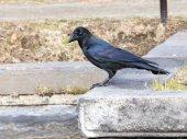 Black crow — Stock Photo