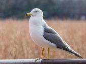 Beautiful smart seagull — Stock Photo