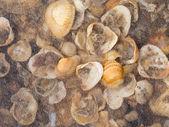 Veel shells — Stockfoto