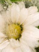 Vertical abstraction of daisy flower — Stock Photo