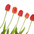 Red tulips on the diagonal — Stock Photo #72845791