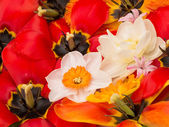 Spring bouquet of daffodils and tulips — Stock Photo