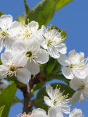 Красивые белые цветки вишни — Стоковое фото
