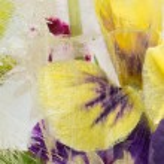 Delicate iris frozen in ice — Stock Photo #80479780