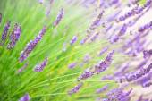 Lavender flowers blooming in summer time in Tokyo, Japan — Stock Photo