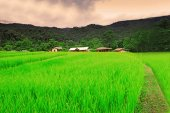 Thai rice filed — Stock Photo
