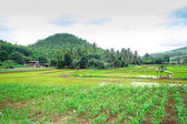 Thai rice field in the countryside of  Thailand — Stock Photo
