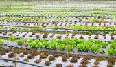Organic hydroponic vegetable farm — Stock Photo