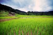 Natural Thai rice field in Chiangmai, Thailand — Stock Photo