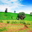 Natural landscape of corn field and rice field on mountain against blue sky — Stock Photo #58908149