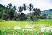 Natural Thai rice field at Chiangmai, Thailand — Stock Photo