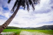 Natural Thai rice field — Stock Photo