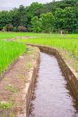 Natural Thai rice field — Stock Photo