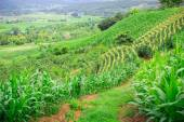Natural landscape view of village and corn filed on mountain — Stock Photo