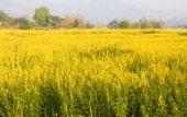Crotalaria Juncea flowerfield — Stock Photo