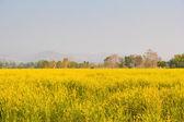 Field of Crotalaria Juncea flower — Stock Photo