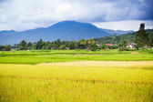 Natural rice field — Stockfoto