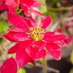 Red poinsettia plants — Stock Photo #62843223