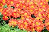 Blomma säng av röda krysantemum blomma i trädgården — Stockfoto