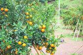 Orange plantation in chiangmai thailand — Stock Photo