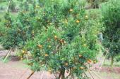 Piantagione di arancia in chiangmai Thailandia — Foto Stock