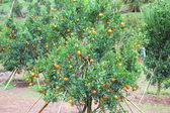 Orangen-Plantage in Chiangmai thailand — Stockfoto