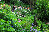 Hydrangea flowers at Hasedera temple — Stock Photo