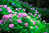 Hydrangea flower in garden — Stock Photo